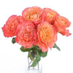 """""""sunset"""" garden rose"""