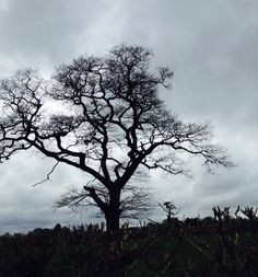 A tree in a field in Rearsby, Leicestershire, England.