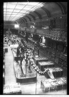 Le diplodocus du Muséum national d'histoire naturelle de Paris (agence Rol, 1908).