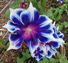 100pcs/bag Picotee Blue Morning Glory seeds, rare petunia seeds, bonsai flower seeds, plant for home garden Easy to Grow!