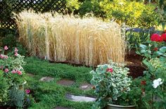 Growing Your Own Wheat Plant grain in your garden! Here's how to grow wheat at home for the best bread ever! Now to get some non Americanized wheat seeds from Europe and I'll be set!