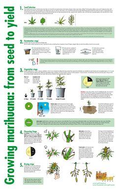 Leer #wiet #kweken met behulp van deze uitleg. How to grow #weed manual?