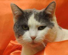 May-a-senior-adoptable-cat-in-Missouri