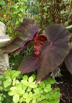 Begonia 'Gene Daniels' by anniesannuals, via Flickr