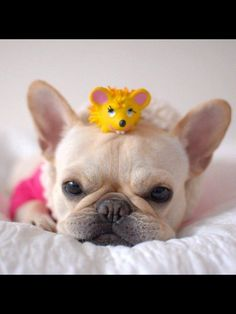 Queen of the Mouses, French Bulldog