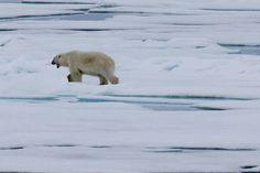 Polar Bear on Sea Ice near Svalbard Silversea Cruises, Sea Ice, Polar Bear, Arctic, Explore, Travel, Viajes, Destinations, Traveling