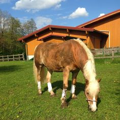 Hafl enjoying his day spa #haflinger #hafl #dressage #mudattack #rolling #fun #wellness #afterworks #sunny #why