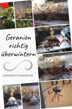 Geranien überwintern - So überleben Pelargonien den Winter Green Garden, Cozy House, 1, Table Decorations, Blog, Outdoor, Home Decor, Gardening, Terrace