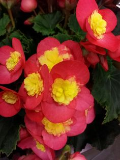 #Begonia #Valentino; Available at www.barendsen.nl