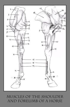 horse skeleton diagram | horse leg diagram image search results