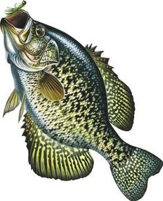 River's Edge Car Magnet - Crappie - Lol, a subtle sign you can stick on your car to imply it is NOT a high performance vehicle.OR, that you just really like to fish, haha!