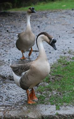 Chinese brown geese....George and Matilda
