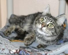 I'm Emily, a too-cute-for-words longhaired black tabby available for adoption at Simply Cats in Boise, ID.  Repin this and help me find a forever home!