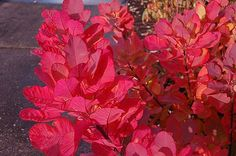 Cotinus 'Old Fashioned' -  You'll want to grow 'Old Fashioned' smokebush for its outstanding foliage in three seasons. In spring, new leaves are blushed with red and mature to blue-gray by early summer. In fall, the whole shrub turns blazing shades of violet and red, glowing from across the landscape. You can train 'Old Fashioned' into a shrub or tree depending on how big you want it to get. The best part -- deer don't like it.