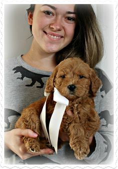 Check out our list of all upcoming Goldendoodle litters and Double Doodle litters below. Please fill out the puppy application and we will contact you. Toy Goldendoodle, Double Doodle, Breads, Doodles, Teddy Bear, Puppies, Bread Rolls, Cubs, Bread