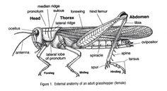 Grasshopper Key