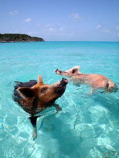 """Cerdos nadando en la """"Isla Big Mayor"""" en las Bahamas, también conocida como """"Isla de los cerdos"""", una isla deshabitada famosa por estar poblada por cerdos nadadores."""