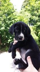 Tink is an adoptable American Bulldog Dog in Ansonia, CT. Meet Tink! Tink is an 8 week old American Bulldog mix (we think with lab) Judging by her paws, she is going to be a good sized dog. � She is t...