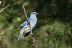 Foto sanhaçu-de-encontro-azul (Tangara cyanoptera) por Ivan Angelo | Wiki Aves - A Enciclopédia das Aves do Brasil