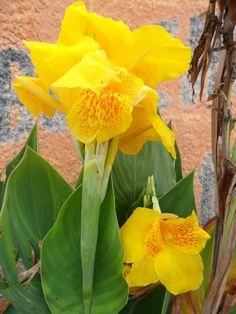 Bananinha de Jardim...amarela miolo salpicado de vermelho.