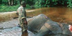 Weitere 26 Elefanten ermordet. Nach einem Putsch in Zentralafrike im März kam es in dem entstandenen Chaos mit 200,000 Menschen auf der Flucht zu weiteren 26 getöteten Elefanten im Dzanga Ndoki Nationalpark. Der WWF musste seine Nationalpark Büros nach bereits mehreren Verwüstungen und Plünderungen evakuieren. Den Tieren wird oftmals noch lebend das Horn abgeschnitten.