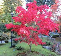 Buy Flower Seeds and Vegetable Seeds Online Arbutus Unedo, Japanese Water Gardens, Vegetable Seeds Online, Gardens Of The World, Acer Palmatum, Free Plants, Buy Flowers, Japanese Maple, Seed Packets