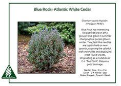 Chamaecyparis thyoides Blue Rock® ('Versent' PPAF)