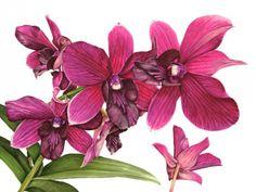 """Anna Mason Art   Cooktown Orchid Botanical print from an original water-colour £195, 18"""" x 24"""", Shipped worldwide http://annamasonart.com"""