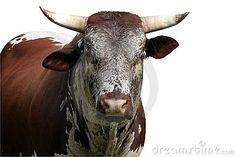 Nguni cattle bull by Duncan Noakes, via Dreamstime