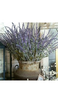 Lavender displayed in a milk can.