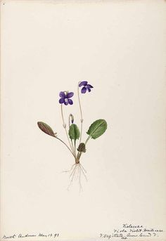 206269 Viola sagittata Aiton / Sharp, Helen, Water-color sketches of American plants, especially New England, [Helen Sharp] A violet that represents Poison Ivy's Sapphic desire towards Harley Quinn. Botanical Tattoo, Botanical Drawings, Botanical Art, Botanical Illustration, Violet Flower Tattoos, Violet Tattoo, Hawaiianisches Tattoo, Flor Tattoo, Illustration Botanique