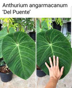 Pot Plants, Rare Plants, Caladium Garden, Tropical Garden, Summer Nights, House Plants, Tiny House, Plant Leaves, Gardening