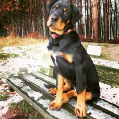 Dolly # Boerboel × Rottweiler#4mnd#lovemydog!!