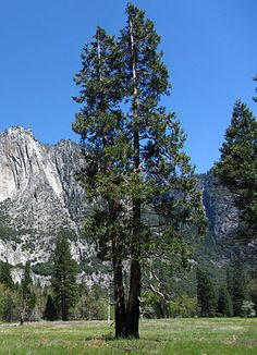 a two-trunked tree in a grassy meadow, with steep terrain, including a granite cliff, in the background