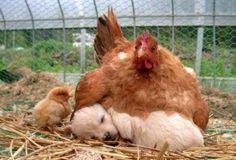 '개를 품은 닭'