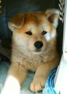 """Click visit site and Check out Best """"Akita Dog"""" T-Shirts & Hoodies. This website is outstanding.  Tip: You can type """"your first name"""" or """"your favorite shirts""""  by using search bar on the header.   #akita"""