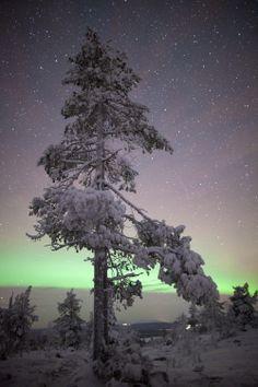 Lonely tree under the auroras at Muonio, Finnish Lapland © Antti Pietikäinen