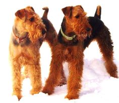 Rock Ranch Turkish Delight (L)  Rock Ranch Freedom Hunter (R) - ROCK RANCH FAMILY AIREDALES