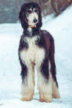 Afghan Hound - This little guy looks like a rocker Afghan 🎶 I bet he's got a lot of attitude! Afghan Hound Puppy, Hound Dog, Most Beautiful Dogs, Animals Beautiful, Hound Breeds, Dog Breeds, Lurcher, Whippet, Happy Dogs