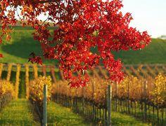 Napa Valley Fall Color