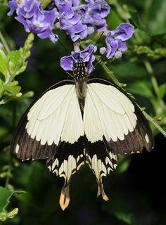 Papilionidae sp.