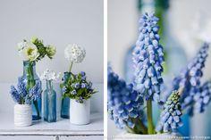 Bouquet de fleurs bleues et blanches : les muscaris, parfaits au printemps