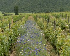 CHILE SHOULD GO 100% ORGANIC #wine #winery #wineeducation #winetasting #chile #organic