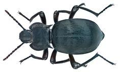 Family: Tenebrionidae Size: 23 mm Location: Greece, Prov. Larissa, Ossa Oris, Sykourio leg. J.Schoenfeld, 7.VII.2001; det. Schawaller, 2002 Photo: U.Schmidt, 2014