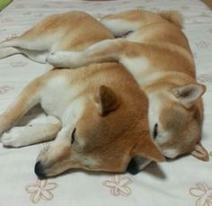 """Click visit site and Check out Best """"Akita Dog"""" T-Shirts & Hoodies. This website is top-notch. Tip: You can type """"your first name"""" or """"your favorite shirts"""" by using search bar on the header. Shiba Inu, Japanese Akita, Japanese Dogs, Akita Dog, Cute Baby Animals, Animals And Pets, I Love Dogs, Cute Dogs, Dog Harness"""