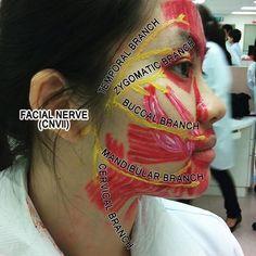 Facial Nerves
