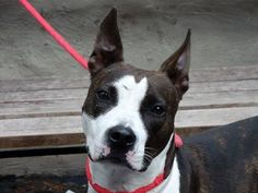 ((SUPER URGENT)) TO BE DESTROYED - 09/14/13 (SAT)- Manhattan Center. My name's MACY-ID # is A0978336. I'm a  VERY SWEET female brown & black pit bull mix about 2 YRS old. I came in the shelter as a STRAY on 09/09/2013. Volunteers LOVE HER..Please see how affectionate, loyal & obedient she is. She'll be gone forever in moments. http://www.youtube.com/watch?v=-Rmx5WlRUw4&feature=share&list=UU9oMchGtPuEUqUKgMIurdRA