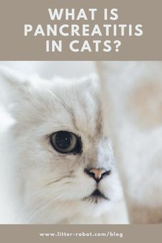 What Is Pancreatitis in Cats? | Learn more on Litter-Robot Blog Crazy Cat Lady, Crazy Cats, Litter Robot, White Blood Cell Count, Decrease Appetite, Feeding Tube, Abdominal Pain, Back Muscles, Medical Prescription