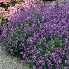 Lavendel ´Munsteadt´ von Garten Schlüter auf blumen.de