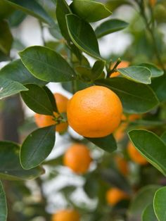 Satsumas burst through chilly, gray days just when we need it most.